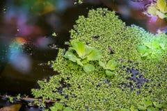 A alface e a lentilha-d'água do stratioteswater do Pistia molham a lente que cobre a lagoa fotos de stock
