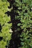 Alface e plantas verdes em um jardim fotografia de stock