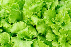 Alface fresca da salada Fotos de Stock Royalty Free