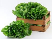 Alface fresca verde Imagem de Stock