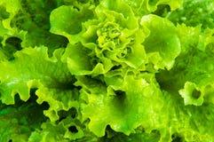 Alface molhada fresca no jardim Foto de Stock Royalty Free