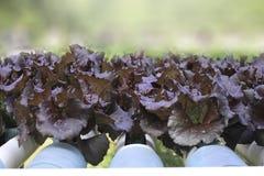 alface orgânica da salada roxa Fotos de Stock