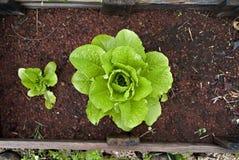 Alface orgânica em um jardim vegetal Imagem de Stock
