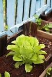 Alface orgânica em um jardim vegetal Fotos de Stock Royalty Free