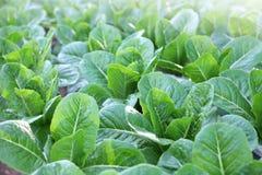 Alface orgânica saudável da salada de cos da alface romana para o vegetariano e o vegetariano imagem de stock