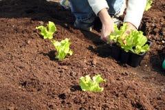 Alface a plantar no solo fresco Foto de Stock