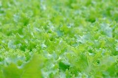 Alface que cresce em uma cama vegetal no jardim exterior na cidade fotos de stock royalty free
