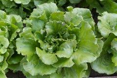 Alface verde Imagens de Stock Royalty Free