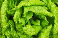 Alface verde Fotos de Stock