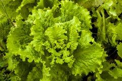 Alface verde Imagem de Stock Royalty Free
