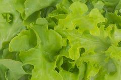 Alface verde do carvalho imagens de stock royalty free