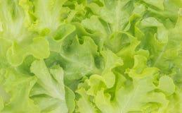 Alface verde do carvalho Imagem de Stock