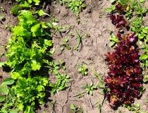 Alface verde e vermelha nova da salada que cresce no jardim Imagens de Stock