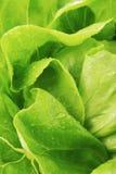 Alface verde fresca Imagem de Stock Royalty Free