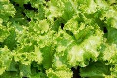 Alface verde fresca Imagens de Stock