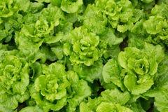 Alface verde no crescimento fotografia de stock royalty free