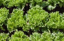 Alface verde no jardim vegetal Imagens de Stock Royalty Free