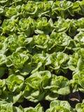 Alface verde no jardim vegetal Fotos de Stock