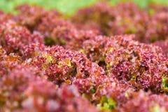 Alface vermelha fresca Imagem de Stock Royalty Free