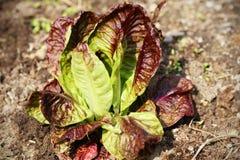 Alface vermelha no jardim Fotografia de Stock Royalty Free