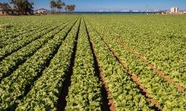 Alfaces que crescem - agricultura moderna intensiva Imagens de Stock