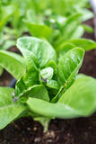 Alfaces romanas verdes frescas e saudáveis Fotos de Stock Royalty Free