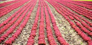 Alfaces vermelhas Fotografia de Stock Royalty Free