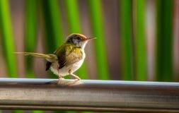 Alfaiate Bird Imagens de Stock