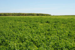 Alfalfa. Field of alfalfa in agricultural area Stock Image