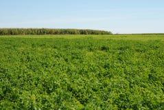 alfalfa Obraz Stock