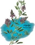 alfalfa Fotos de Stock