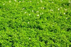 alfalfa zdjęcia royalty free