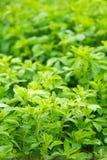 Alfalfa (alfalfa) Foto de archivo libre de regalías