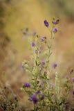 Alfalfa blossoms Stock Image