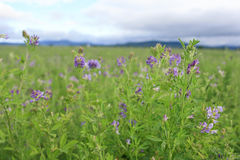 Alfalfa blossoms. In a field Royalty Free Stock Images