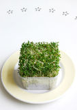 Alfalfa & broccoli Sprouts. Green, healthy, organic alfalfa and broccoli sprouts mixtures  - great for salads.  Presented on light yellow plate and clean white Royalty Free Stock Image