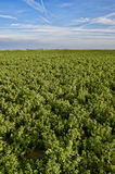 Alfalfa crop. Field of alfalfa growing in the agricultural area of central california Royalty Free Stock Images
