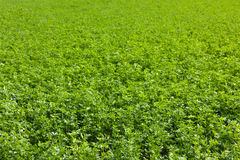 Alfalfa field. Large alfalfa field in French country Royalty Free Stock Photo