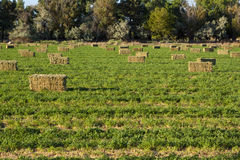 Alfalfa in Field. Bales of alfalfa in green plowed field Royalty Free Stock Images