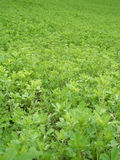 Alfalfa field Royalty Free Stock Image