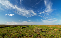 Alfalfa Field - Central Valley - Baled - Cut - Raked Stock Photo