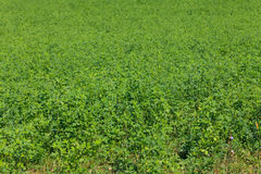 Alfalfa field Royalty Free Stock Photography