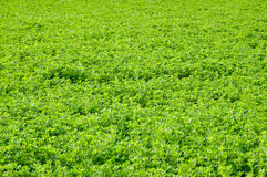 Alfalfa Field Royalty Free Stock Photos
