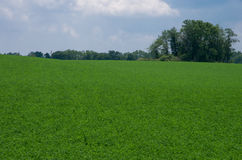 Alfalfa Field. A field of alfalfa in the first stage of blooming Stock Photo