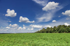 Alfalfa field. Green alfalfa field under a blue sky with white clouds Royalty Free Stock Photography
