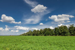 Alfalfa field Royalty Free Stock Images