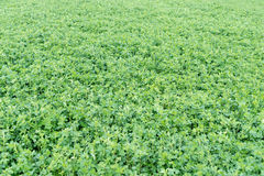 Alfalfa field Stock Image