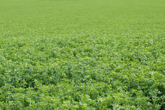 Alfalfa field Stock Photos