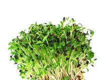 alfalfa flance Zdjęcie Royalty Free