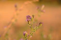 Alfalfa flower. Macro detail of Alfalfa, Medicago sativa, also called lucerne Stock Photos